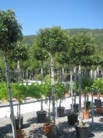 Prunus lusitanica Angustifolia 12/14 C35