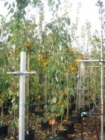 Prunus ser. Amanogawa 8/10 beveerd C30