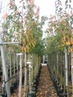 Prunus ser. Kanzan 10/12  C30