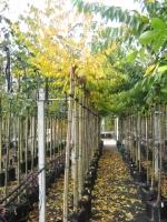 Prunus subh. Autumnalis Rosea 10/12 stam 200 C30