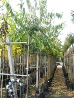 Prunus subh. Autumnalis  10/12 stam 200 C30