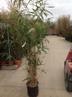 Pseudosasa jap.(bambusa metake) 175/200 C18