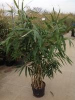 Pseudosasa jap.(bambusa metake) 150/175 C15