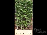 QH Fagus Sylvatica Hoogte 200cm/M