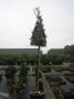 Quercus Ilex 10/12 C50