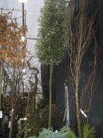 Quercus Ilex 16/18 C110