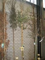 Quercus Ilex 4/6 C12