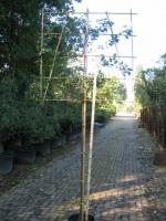 Quercus Ilex LEIVORM C15