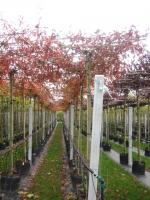 Quercus Palustris DAK 10/12 C45