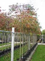 Quercus Palustris Lei 10/12 C35