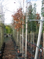 Quercus Rubra 8/10 C