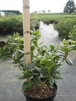Rhododendron Dora Amateis 20/+ C3