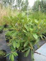 Rhododendron Albert Schweizer C15 50/+