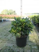 Rhododendron Goldflimmer 40/+ C5
