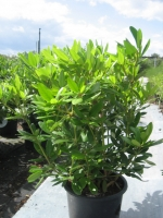 Rhododendron Grandiflora C15/20 50/+