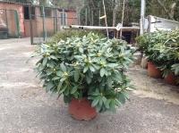 Rhododendron Grandiflora C23 70/80
