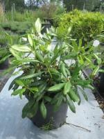 Rhododendron Marcel Menard C15 50/+