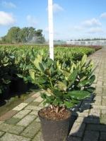 Rhododendron Nova Zembla 40/+ C5