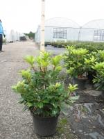 Rhododendron Ponticum 40/+ C5
