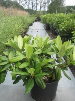 Rhododendron Scintillation C15 50/+