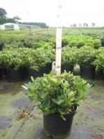 Rhododendron Shamrock  20/+ C3