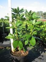 Rhododendron catw. Grandiflora 40/+ C5