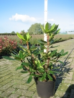 Rhododendron pont. Roseum 40/+ C5