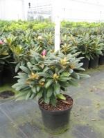 Rhododendron yak. Kalinka 30/+ C4