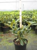 Rhododendron yak. Schneezy 30/+ C4
