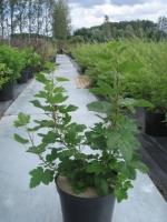 Ribes sanuineum C7.5 50/+