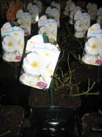 Rosa Flower Carpet Schneeflocke C2
