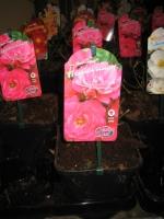 Rosa Flower Carpet Heidetraum C2