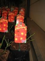 Rosa Flower Carpet Alcantara C2