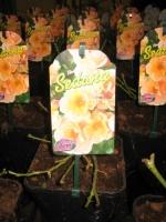 Rosa Flower Carpet Sedana C2