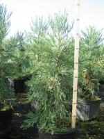 Sequoiadendron  giganteum 80/+ C25