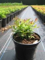 Spiraea japonica Genpei C1.5 15/+