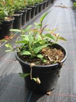Spiraea japonica Anthony Waterer C1.5 15/+