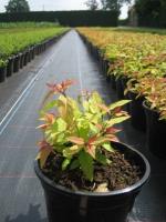 Spiraea japonica Goldflame C1.5 15/+
