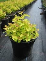 Spiraea japonica Golden Princess C1.5 15/+