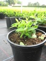 Spiraea japonica Albiflora C1.5 15/+