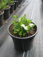 Spiraea niipponica Snowmound C1.5 20/+