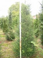 Taxus Baccata 140/+ leemkluit VERPLANT