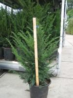 Taxus Baccata 60/80 leemkluit
