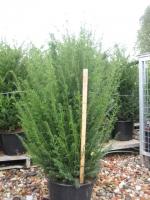 Taxus Baccata 80/100 leemkluit EXTRA