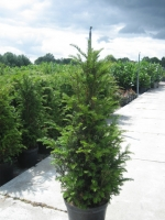 Taxus Baccata C7.5 100/+