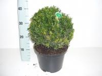 Taxus Baccata bol 25cm/+ C5