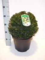 Taxus Baccata bol 30cm/+ C7.5