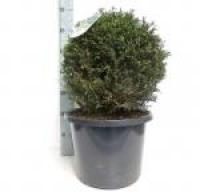 Taxus Baccata bol 35cm/+ C10