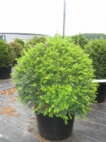 Taxus Baccata bol 60cm C20