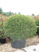 Taxus Baccata bol 120cm C50